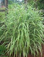 Ozdobnice čínská 'cosmopolitan' - Miscanthus sinensis 'Cosmopolitan'