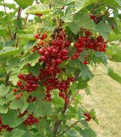 Rybíz červený 'Jonkheer van Tets' - Ribes rubrum 'Jonkheer van Tets' prostokořenný keřový