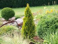 Zerav západní 'Golden Smaragd' - Thuja occidentalis 'Golden Smaragd'