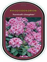 Rododendron (T) 'Furnivall's Daughter' - Rhododendron (T) 'Furnivall's Daughter'