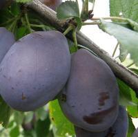 Švestka Jojo – samosprašná - Prunus domestica Jojo - prostokořenná