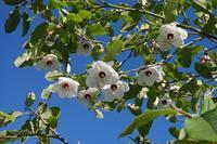 Šácholan Sieboldův - Magnolia sieboldii