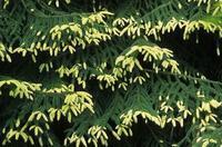 Smrk východní 'Aureospicata' - Picea orientalis 'Aureospicata'