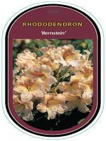 Rododendron (T) 'Bernstein'-Rhododendron (T) 'Bernstein'