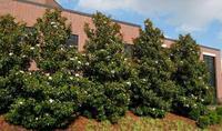Šácholan velkokvětý 'Little Gem' - Magnolia grandiflora 'Little Gem'