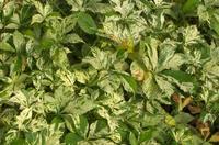 Loubinec pětilistý 'Silver Shower' - Parthenocissus quinquefolia 'Silver Shower'