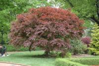 Javor dlanitolistý 'Trompenburg'-Acer palmatum 'Trompenburg'