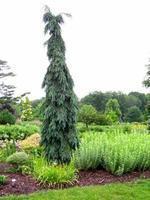 Smrk omorika 'Pendula'-Picea omorika 'Pendula'