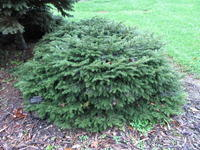 Smrk ztepilý 'Nidiformis'-Picea abies 'Nidiformis'