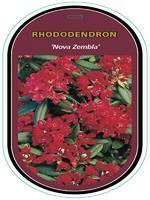 Rododendron (T) 'Nova Zembla' – Rhododendron (T) 'Nova Zembla'
