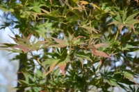 Javor dlanitolistý 'Kogane-Nishiki'-Acer palmatum 'Kogane-Nishiki'