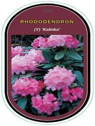 Rododendron (Y) 'Kalinka' – Rhododendron (Y) 'Kalinka' - 1