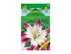 Lilie, asijské hybridy LOLLYPOP 1ks
