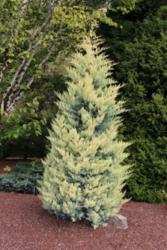 Cypřiš arizonský 'Fastigiata Aurea' - Cupressus arizonica 'Fastigiata Aurea'