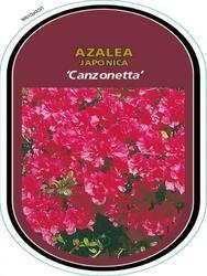 Azalea (J) 'Canzonetta' – Azalka (J) 'Canzonetta' - 1