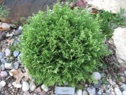 Cypřišek hrachonosný 'White Pygmy' - Chamaecyparis pisifera 'White Pygmy' - 1