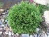 Cypřišek hrachonosný 'White Pygmy' - Chamaecyparis pisifera 'White Pygmy' - 1/2