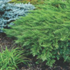 Jalovec chvojka 'Rockery Gem'  - Juniperus sabina 'Rockery Gem'            - 1/2