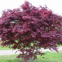 Javor dlanitolistý 'Bloodgood' - Acer palmatum                       - 1