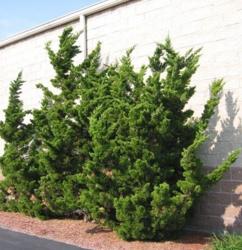 Jalovec čínský 'Kaizuka' - Juniperus chinensis 'Kaizuka'            - 1