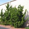 Jalovec čínský 'Kaizuka' - Juniperus chinensis 'Kaizuka'            - 1/2