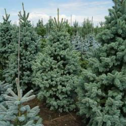 Smrk pichlavý 'Retroflexa' - Picea pungens 'Retroflexa'               - 1