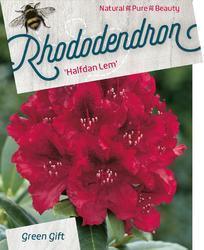 Rododendron 'Halfdan Lem' – Rhododendron 'Halfdan Lem'     - 1
