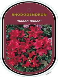 Rododendron 'Baden-Baden' – Rhododendron 'Baden-Baden'      - 1