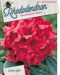 Rododendron (Y) 'Dopey' – Rhododendron (Y) 'Dopey'      - 1