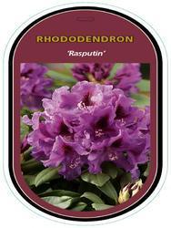 Rododendron (T) 'Rasputin' – Rhododendron (T) 'Rasputin'     - 1