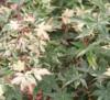 Javor dlanitolistý 'Oridono-Nishiki'-Acer palmatum 'Oridono-Nishik             - 1/2