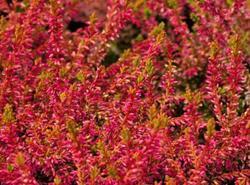 Vřes obecný 'Bonita' - Calluna vulgaris 'Bonita'                 - 1