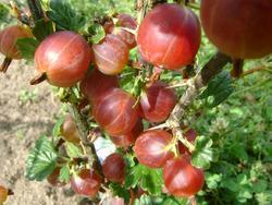 Angrešt červený 'Hinnonmaeki Rod' - Ribes uva-crispa 'Hinnonmaeki Rod' keřový - 1