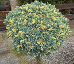 Jalovec šupinatý 'Floreant' - Juniperus squamata 'Floreant'            - 1