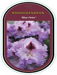 Rododendron (T) 'Blue Peter'-Rhododendron (T) 'Blue Peter' - 1
