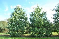 Borovice himalájská - Pinus wallichiana              - 1