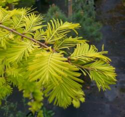 Metasekvoje čínská 'Gold Rush' - Metasequoia glyptostroboides 'Gold Rush' - 1