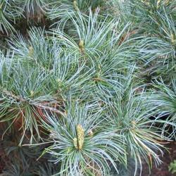 Borovice drobnokvětá 'Tempelhof' - Pinus parviflora 'Tempelhof'  - 1