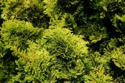 Cypřišek tupolistý 'Aurora' - Chamaecyparis obtusa 'Aurora'               - 1