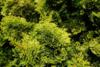 Cypřišek tupolistý 'Aurora' - Chamaecyparis obtusa 'Aurora'               - 1/2