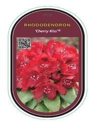 Rododendron (T) 'Cherry Kiss'® - Rhododendron (T) 'Cherry Kiss'® - 1