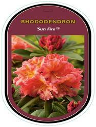 Rododendron (T) 'Sun Fire' ® – Rhododendron (T) 'Sun Fire' ®  - 1