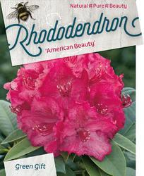 Rododendron 'P. American Beauty' – Rhododendron 'P. American Beauty' - 1
