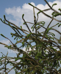 Smrk ztepilý 'Cranstonii' - Picea abies 'Cranstonii'                  - 1