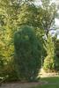 Borovice černá 'Obelisk' - Pinus nigra 'Obelisk'                 - 1/2