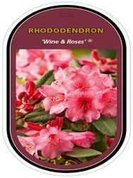 Rododendron (T) 'Wine & Roses' ® – Rhododendron (T) 'Wine & Roses' ®