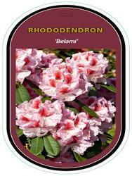 Rododendron (T) 'Belami'® – Rhododendron (T) 'Belami'®