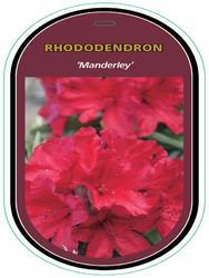 Rododendron (T) 'Manderley' - Rhododendron (T) 'Manderley'  - 1