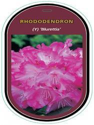 Rododendron (Y) 'Blurettia' – Rhododendron (Y) 'Blurettia' - 1