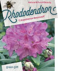 Rododendron 'Catawbiense Boursault' – Rhododendron 'Catawbiense Boursault'     - 1